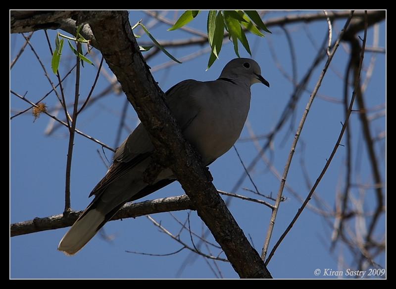 Eurasian Collared Dove, Santee Lakes, San Diego County, California, May 2009