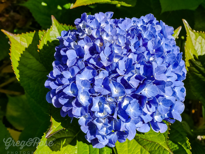 Blue Hydrangea-out of season