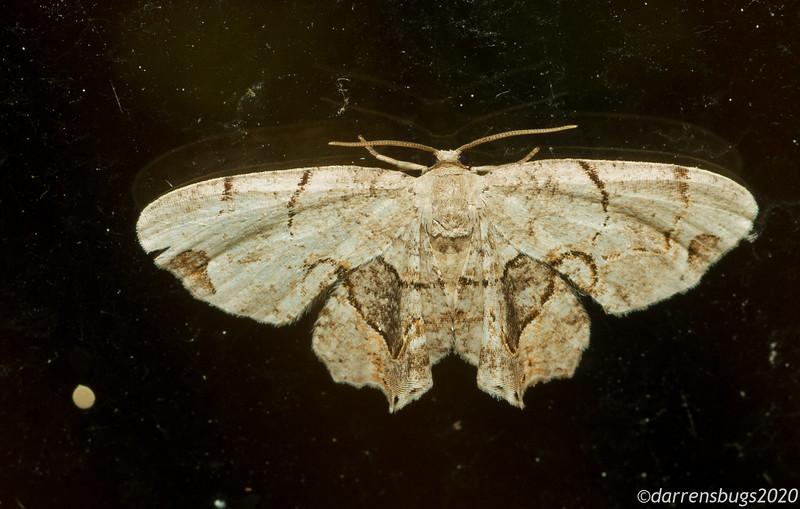 Gray Scoopwing,  Callizzia amorata (Uraniidae: Epipleminae).