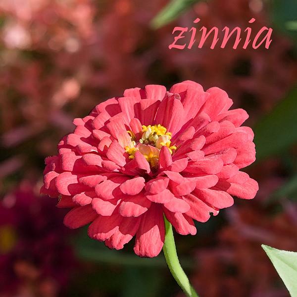 Zinnia 02