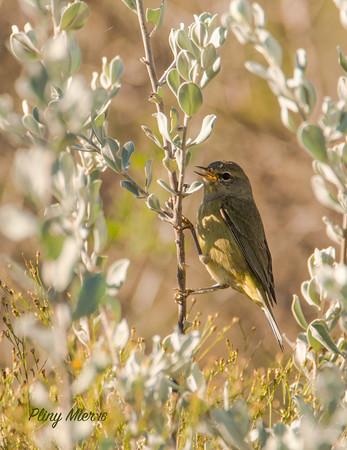 Orange-crowned Warbler_DWL3900.jpg