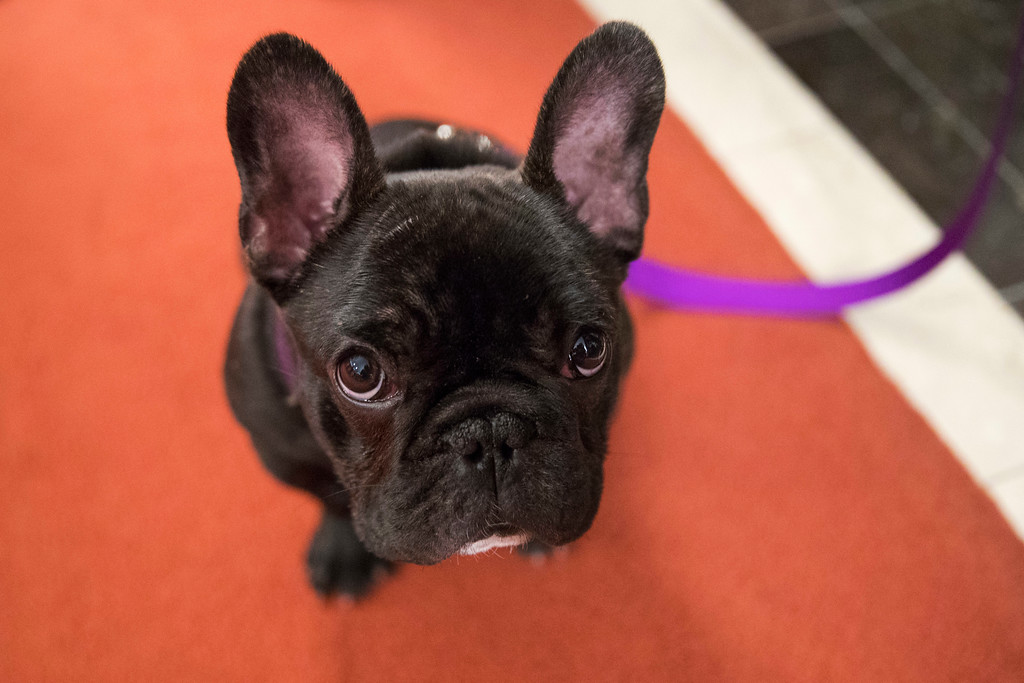 . Pua, a 5-month old French bulldog, poses for photographers during a news conference at the American Kennel Club headquarter, Wednesday, March 28, 2018, in New York. American Kennel Club rankings released in 2018 show the French bulldogs are the fourth most popular purebred dog. (AP Photo/Mary Altaffer)