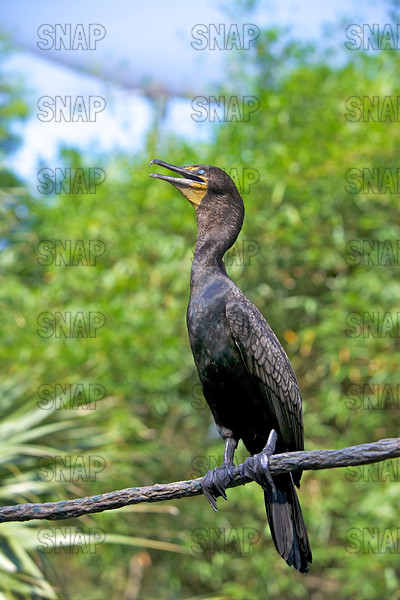 Double-crested Cormorant (Phalacrocorax auritus) that is blind in left its eye.