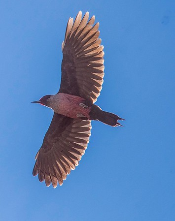 Lewis' Woodpecker 1-27-18 Sunrise Highway