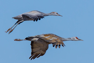 Sandhill Cranes at Whitewater Draw