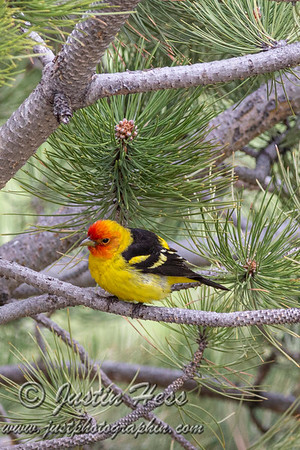 Western Tanager 05-15-2020