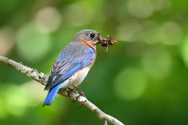 Bluebirds and Other Backyard Faves