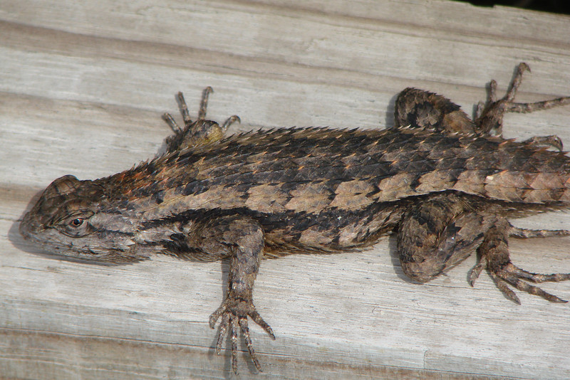 Eastern Fence Lizard (Sceloporus undulatus). TX: Tarrant Co. (Duhons' Fort Worth yard), 13 March 2008.