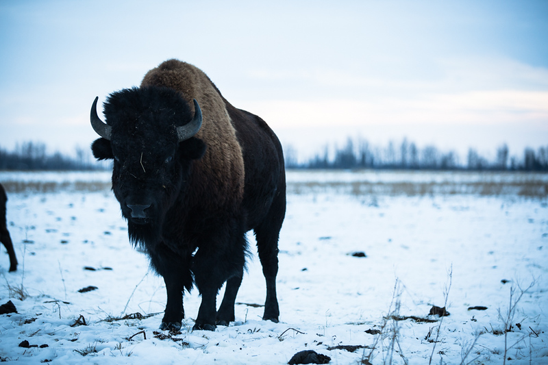 AHP171212_buffalo1483.jpg