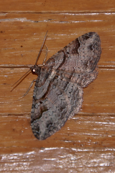 Carpet Moth - Bent-line - (Costaconvexa centrostrigaria) - Dunning Lake - Itasca County, MN