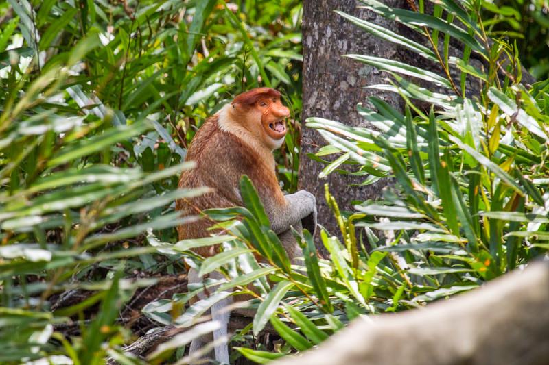 Female Proboscis monkey (Nasalis larvatus) calling, Kinabatangan River, Sabah, Borneo.