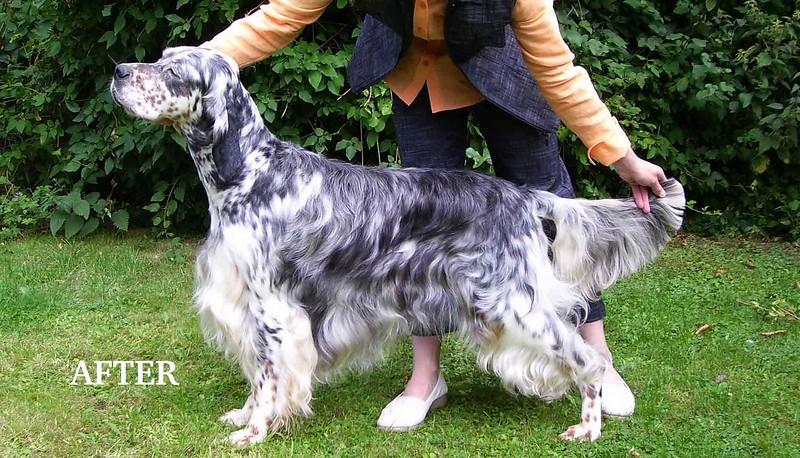 English Setter Show Dog.jpg