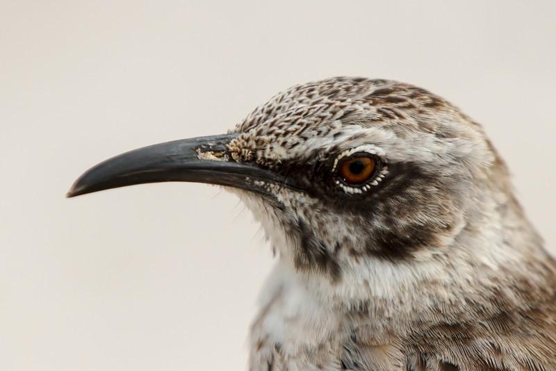 Espanola Mockingbird at Gardner Bay, Espanola, Galapagos, Ecuador (11-21-2011) - 579.jpg