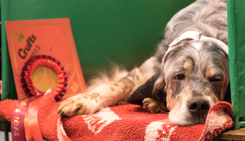crufts-dog-show-english-setter-first-place-scaled.jpeg