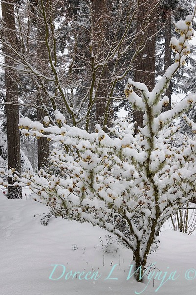 Hamamelis x intermedia 'Arnold Promise' covered in snow_1103.jpg