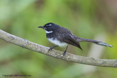 WHISTLER, FANTAIL, MONARCH, PARADISE-FLYCATCHERS, HWAMEI AND BABBLERS