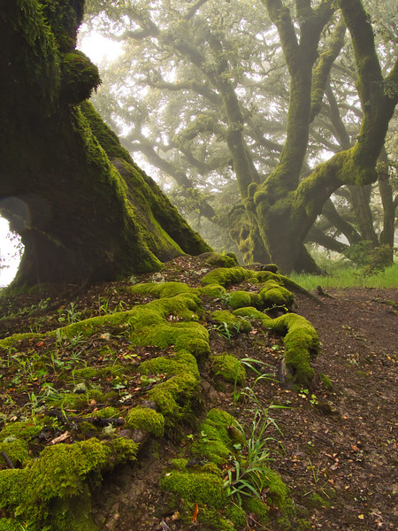 Ancient oaks, roots and moss on foggy day.