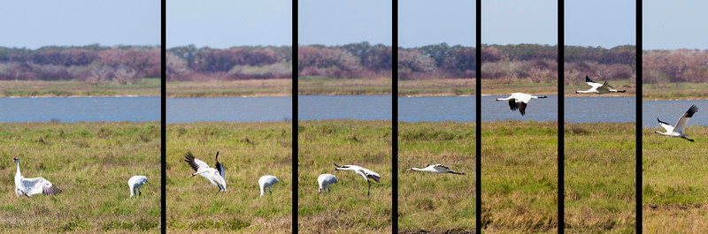 A Whooping Crane flies in from the right, and lands beside its mate.