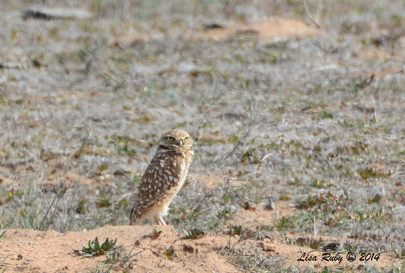 Burrowing Owl - 2/16/14 - Rangeland Road, Ramona