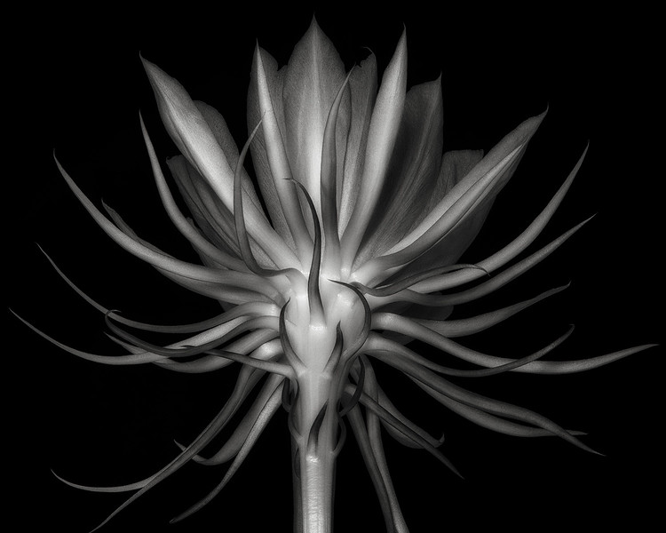 Queen of the Night (epiphyllum oxypetalum)