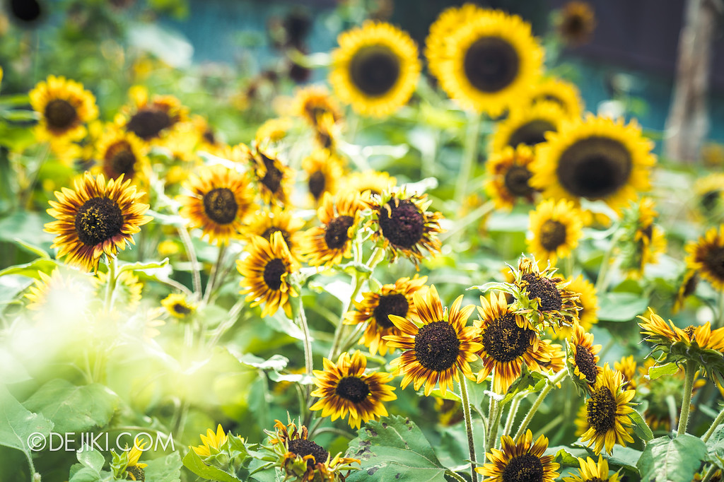 Gardens by the Bay – Sunflower Surprise / Field