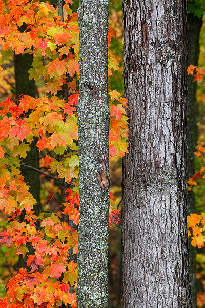 Maple Marvel II (Kettle Moraine State Forest - Northern Unit)