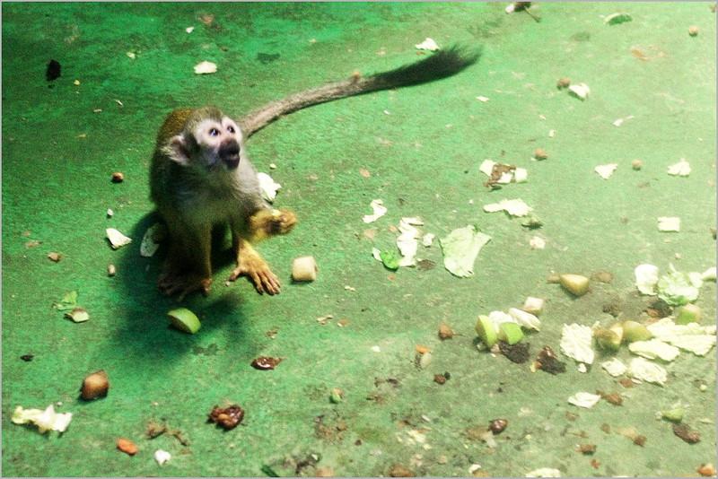 Opička dělá opičky