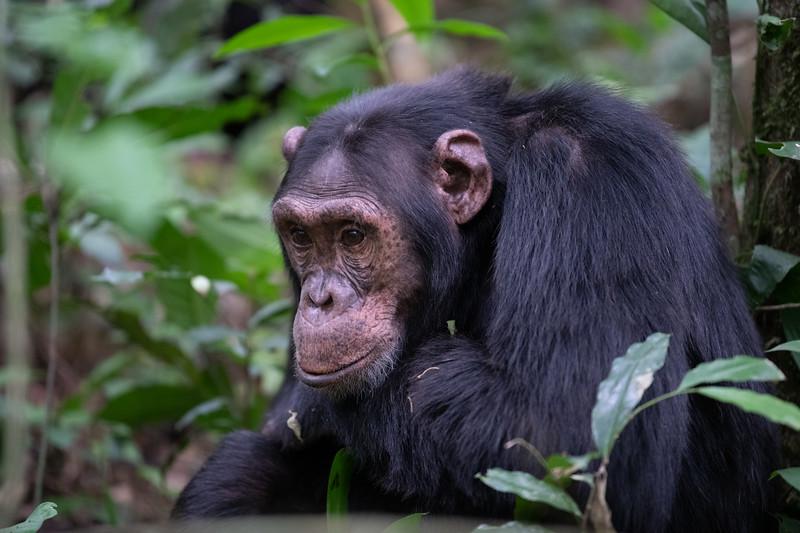 Uganda_T_Chimps-589.jpg
