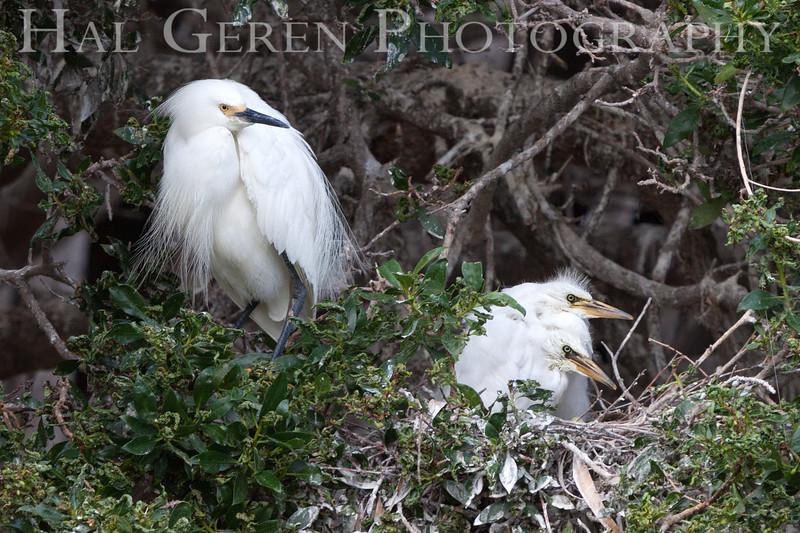 Great Egret and Fledglings Newark, California 1304N-GEAF1