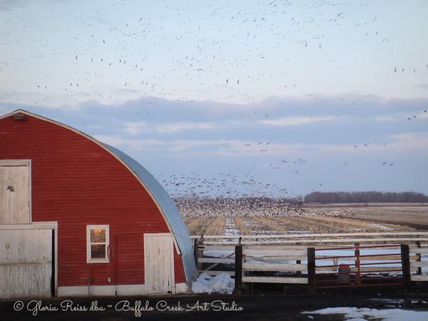Sky's full of Geese