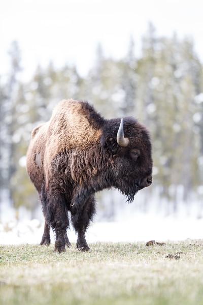 Bison eye level Yellowstone National Park WY IMG_0512.jpg