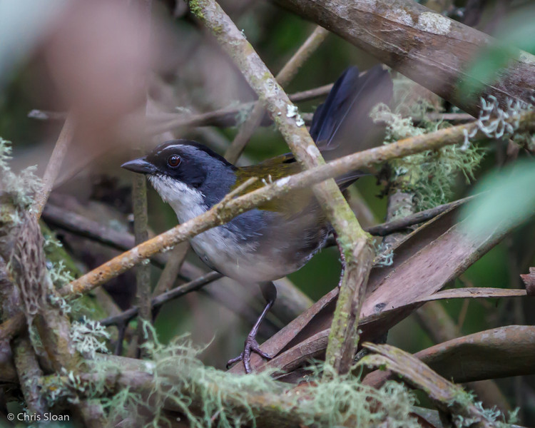 Gray-browed Brush-Finch at Tandayapa Valley, Ecuador (03-06-2014) 029-139.jpg