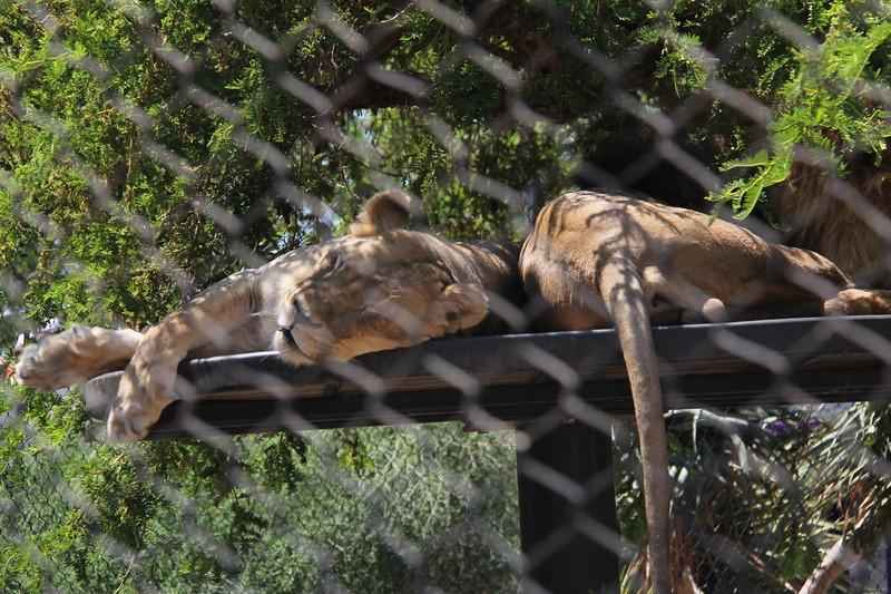 20170807-069 - San Diego Zoo - Lions.JPG