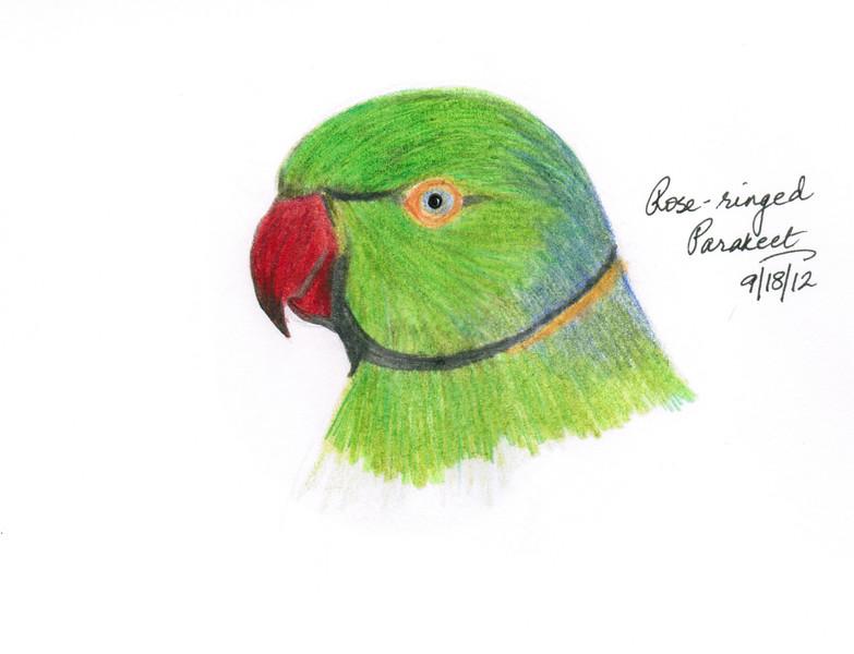 Rose-ringed Parakeet - September, 2012