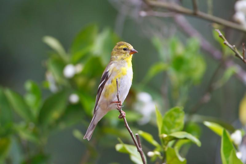 backyard American Goldfinch (juvenile)