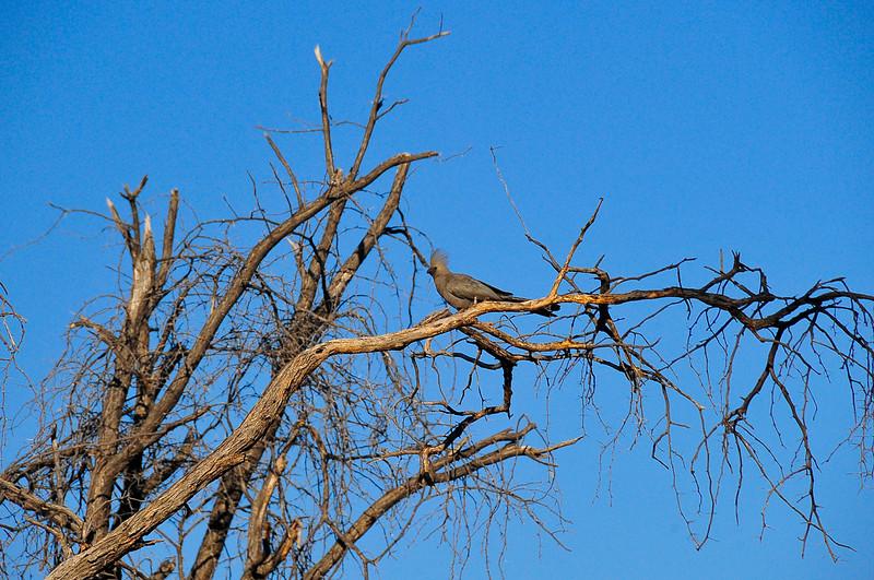 EPV0606 Grey Lourie or Go-away Bird