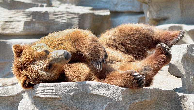 grizzly_nap_lowres.jpg