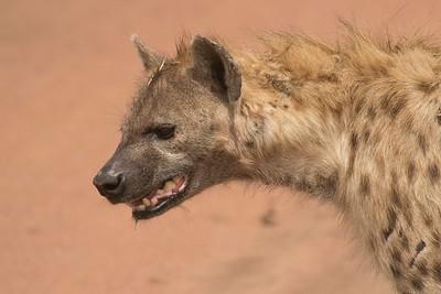Hiena manchada/Fisi/ Spotted Hyena