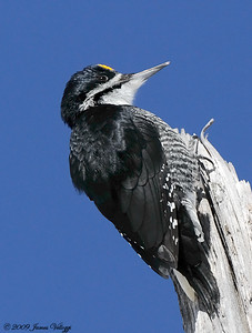 Black-backed Woodpecker, Picoides arcticus