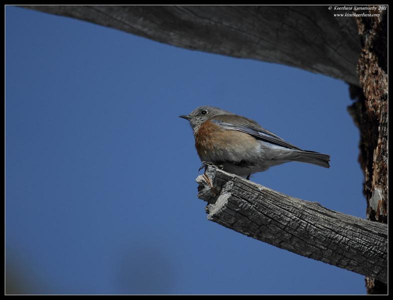 Western Bluebird female, Mt. San Jacinto State Park, Palm Springs, California, March 2011
