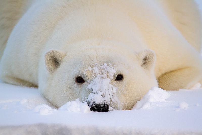 Alaska Polar Bear Photo Workshop-9.jpg