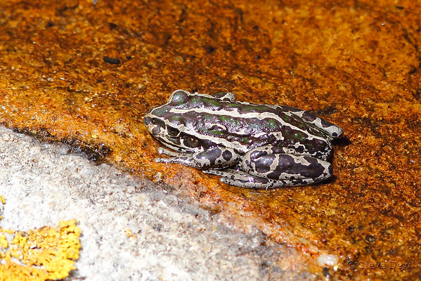 Spotted-thighed Frog