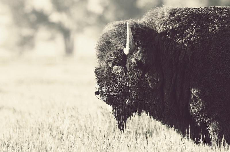 Bison I, Mormon Row, Grand Teton National Park, Wyoming