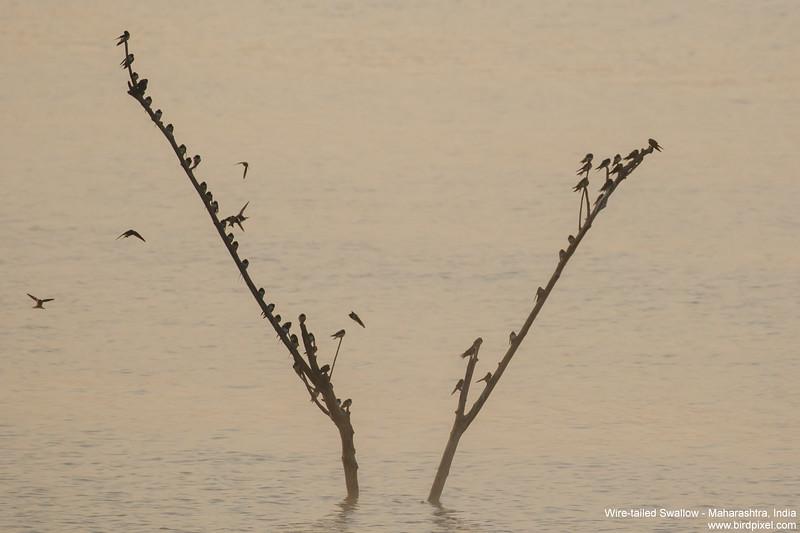 Wire-tailed Swallow - Maharashtra, India