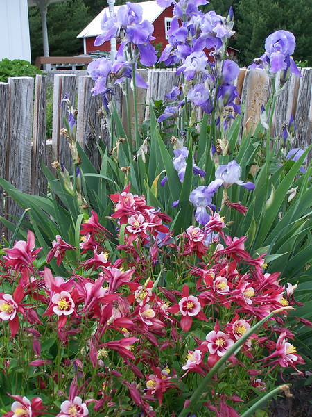 Columbines and Irises