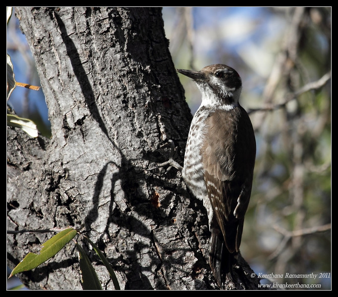 Arizona Woodpecker at the Mt. Wrightson parking lot, Madera Canyon, Arizona, November 2011