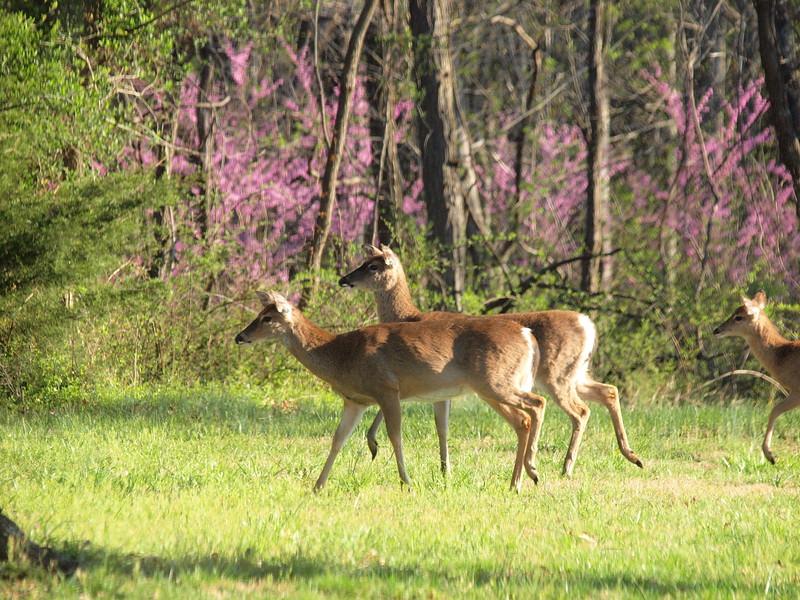Deer Apco-061.JPG