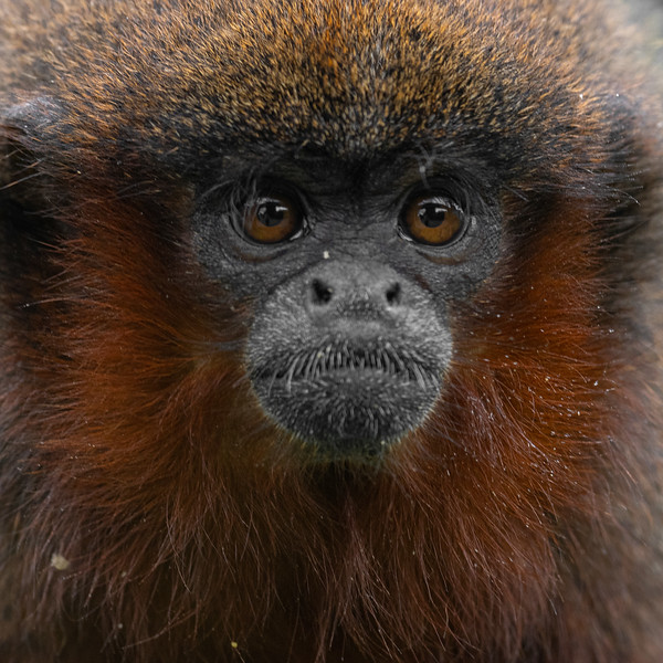 Red Bellied Titi