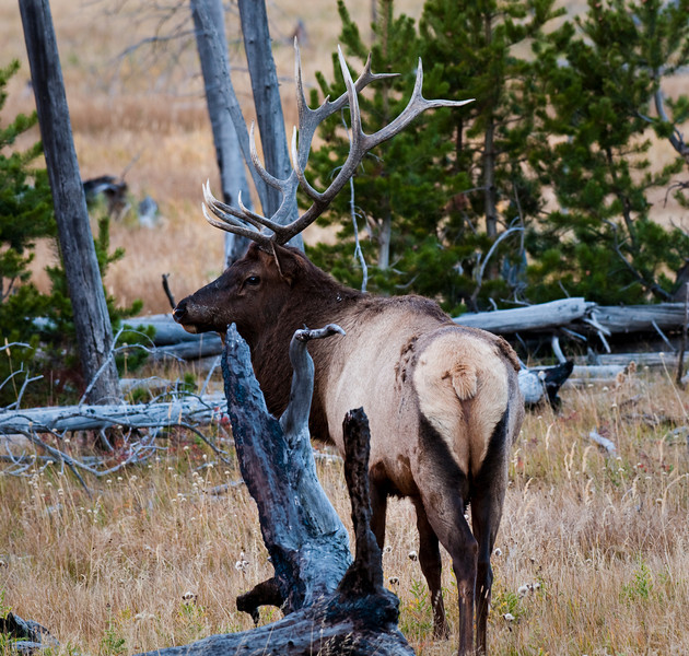 Bull Elk in Rut Yellowstone National Park, Madison Valley Wyoming © 2010