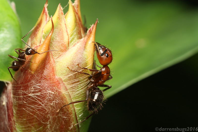 Major and minor worker ants, genus Camponotus, feed on nectar in the botanical garden in Belize.